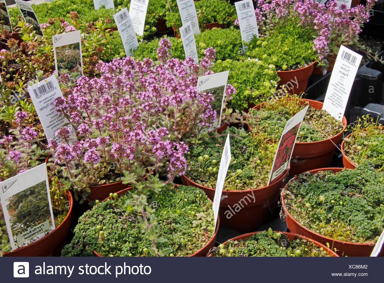 Thymian Kruter Grtnerei Gewchshaus Garten Duft Aroma Gartenbau Stock
