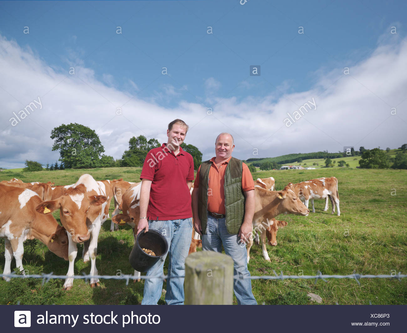 Armer and son with Guernsey calves - Stock Image