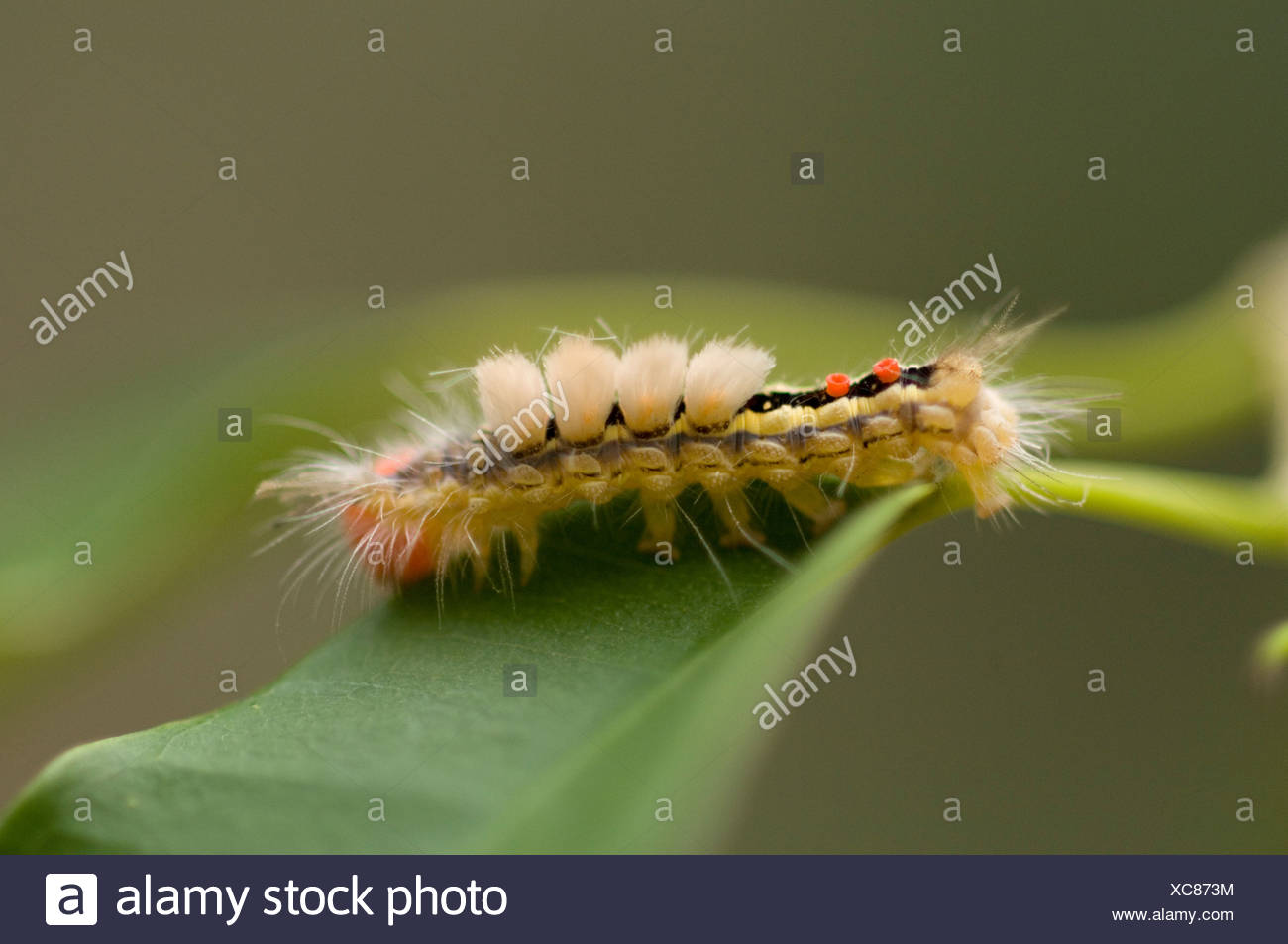 A White Marked Tussock Moth climbs on a tree branch in Nebraska. - Stock Image