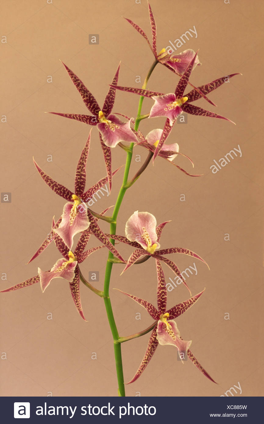 Orchid Odontoglossum cordatum with a delicate flower with sharp pointed petals and open centre - Stock Image