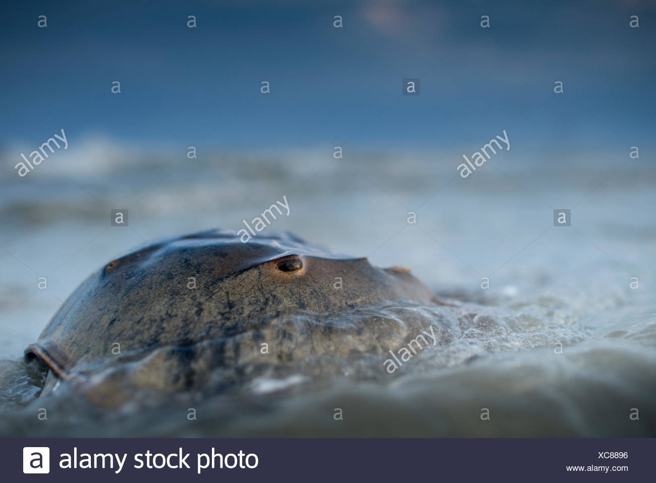 A horseshoe crab spawning near Harbor Island by full moon. - Stock Image