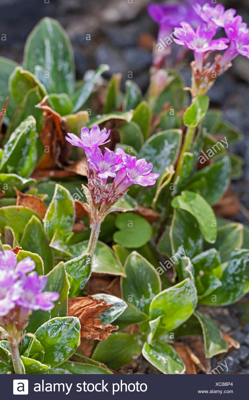 Entire-leaved primrose (Primula integrifolia), blooming - Stock Image