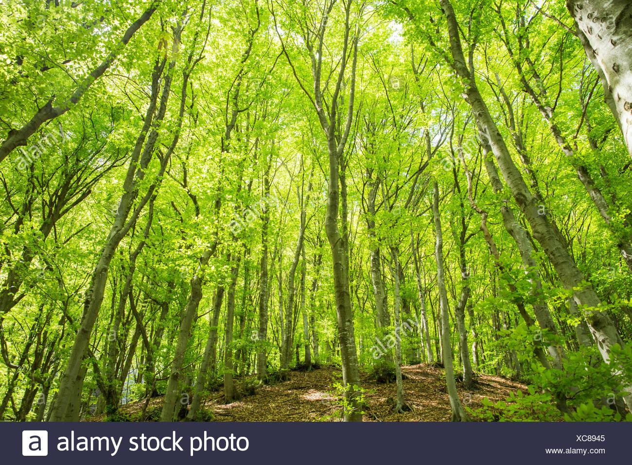 Lugano, wood, forest, Monte Boglia, canton, Ticino, Southern Switzerland, wood, forest, Switzerland, Europe, - Stock Image