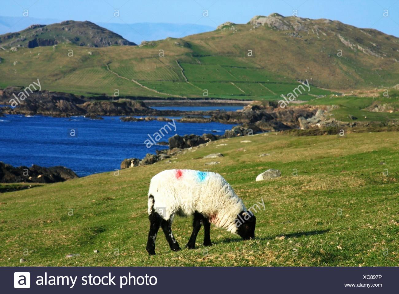 Sheep, Achill Island, County Mayo, Ireland - Stock Image