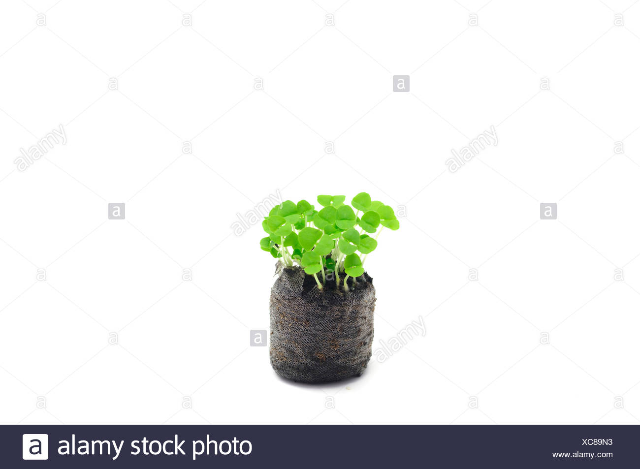 Basil seedlings - Stock Image
