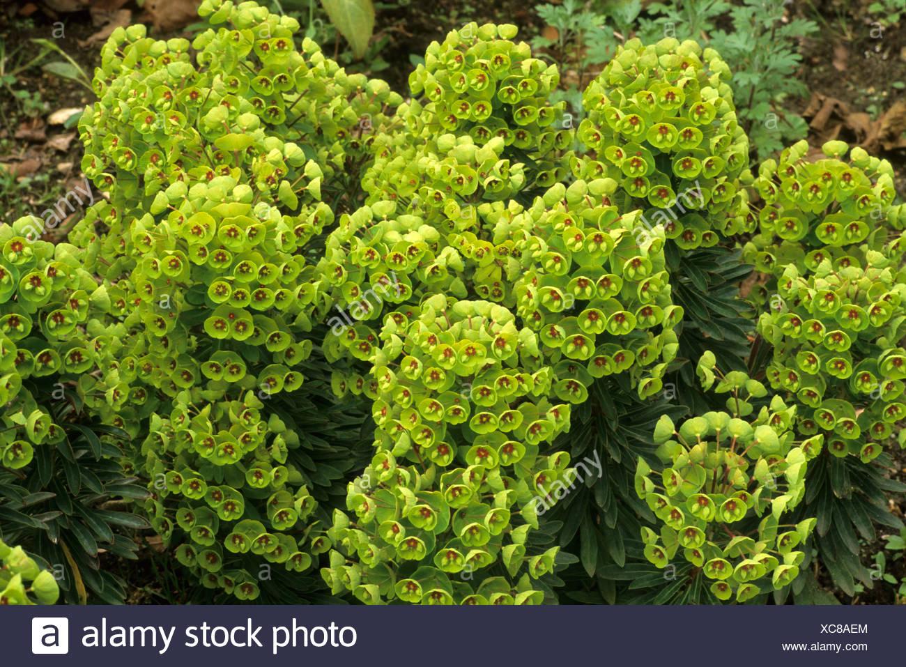 Euphorbia X Martinii Milkweed Spurge Euphorbias Stock Photo