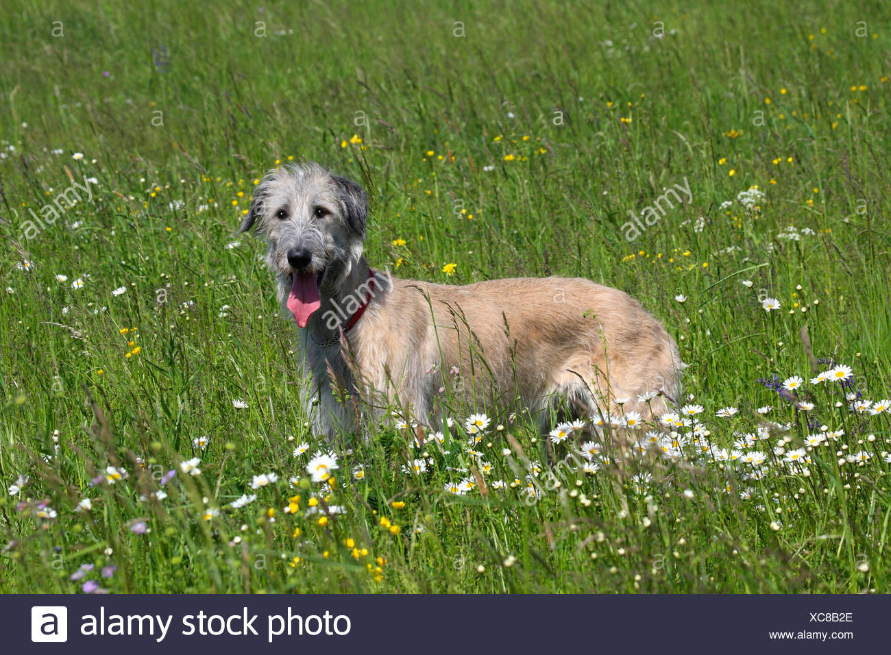 Irish Wolfhound (Canis lupus f. familiaris), lying in a flower meadow, Germany Stock Photo