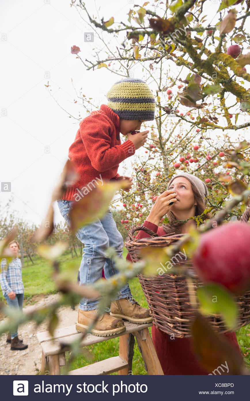 Mother and son picking apples from a tree and smelling them in an apple orchard, Bavaria, Germany - Stock Image