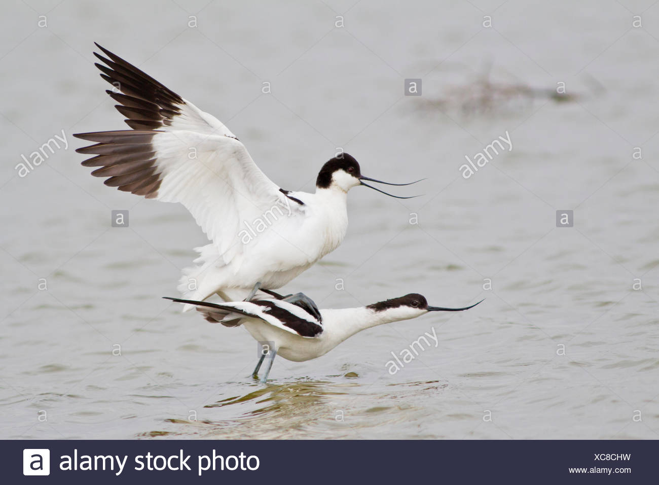 Pairing of two Pied Avocets (Recurvirostra avosetta), Texel, The Netherlands - Stock Image