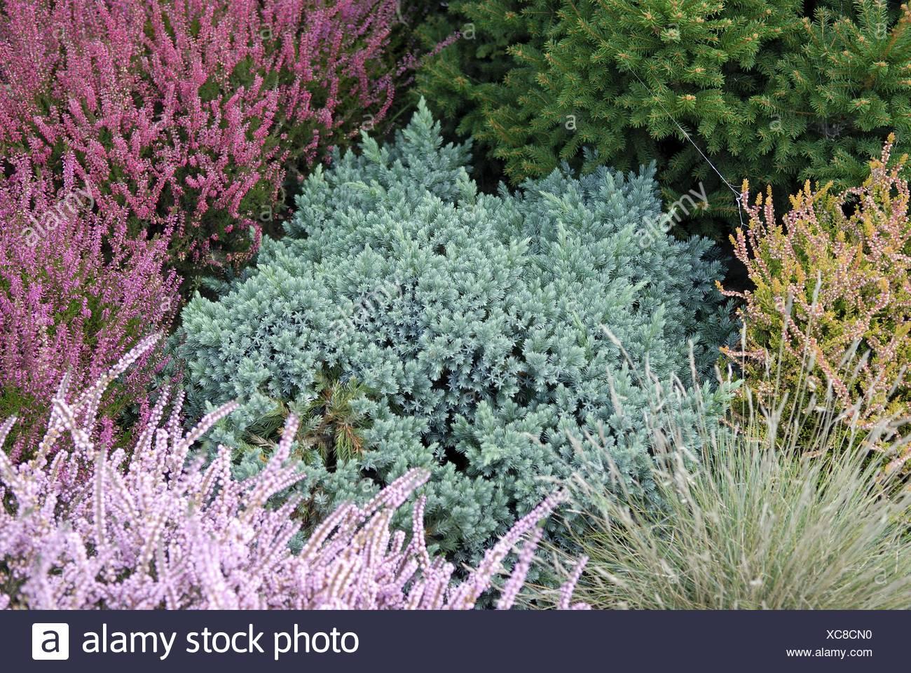 Blue Star Juniper (Juniperus squamata 'Blue Star', Juniperus squamata Blue Star), cultivar Blue Star in a garden with Calluna - Stock Image