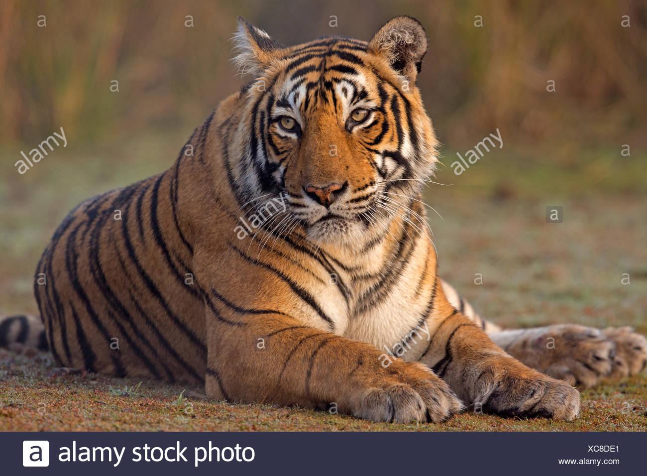 Bengal tiger (Panthera tigris tigris) female 'T19 Krishna' sitting, Ranthambore National Park, India. - Stock Image