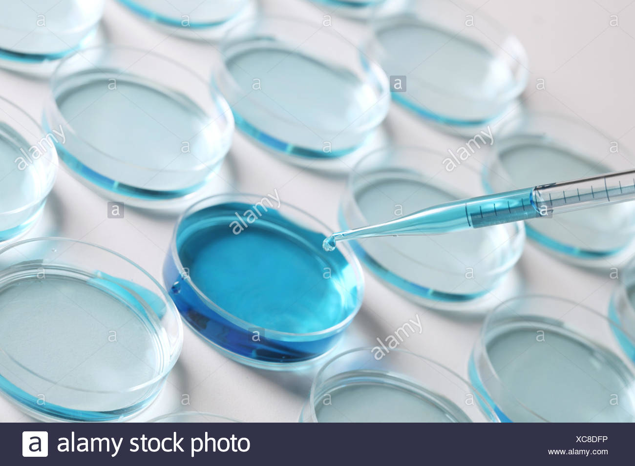 Pipetting blue coloured liquid into petri dishes - Stock Image