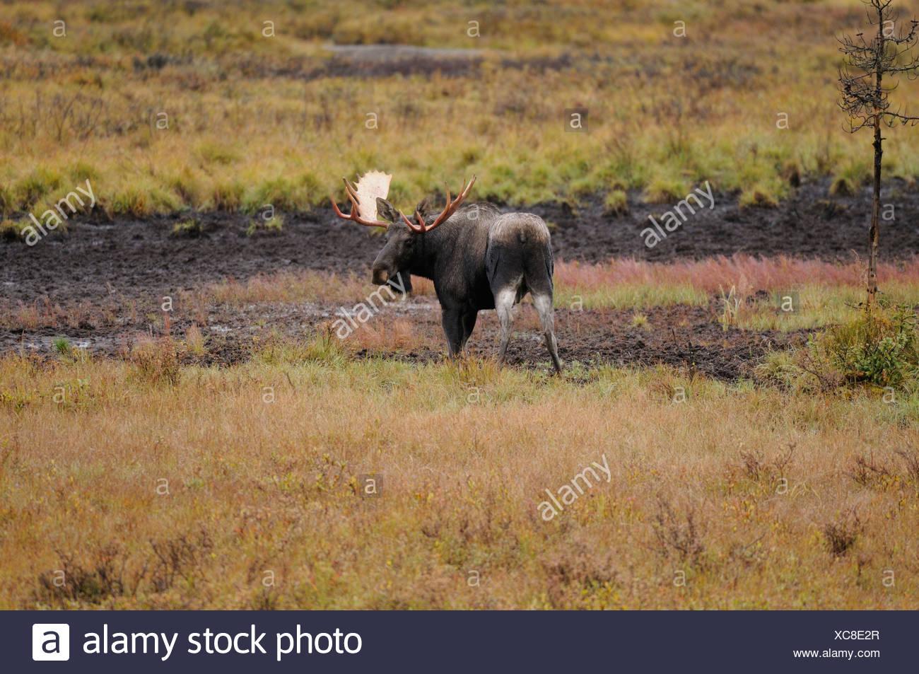 Moose, Alces alces, Cervidae familiy, bulle, fall, fall colours, Peter Lougheed Province Park, Alberta, Canada - Stock Image