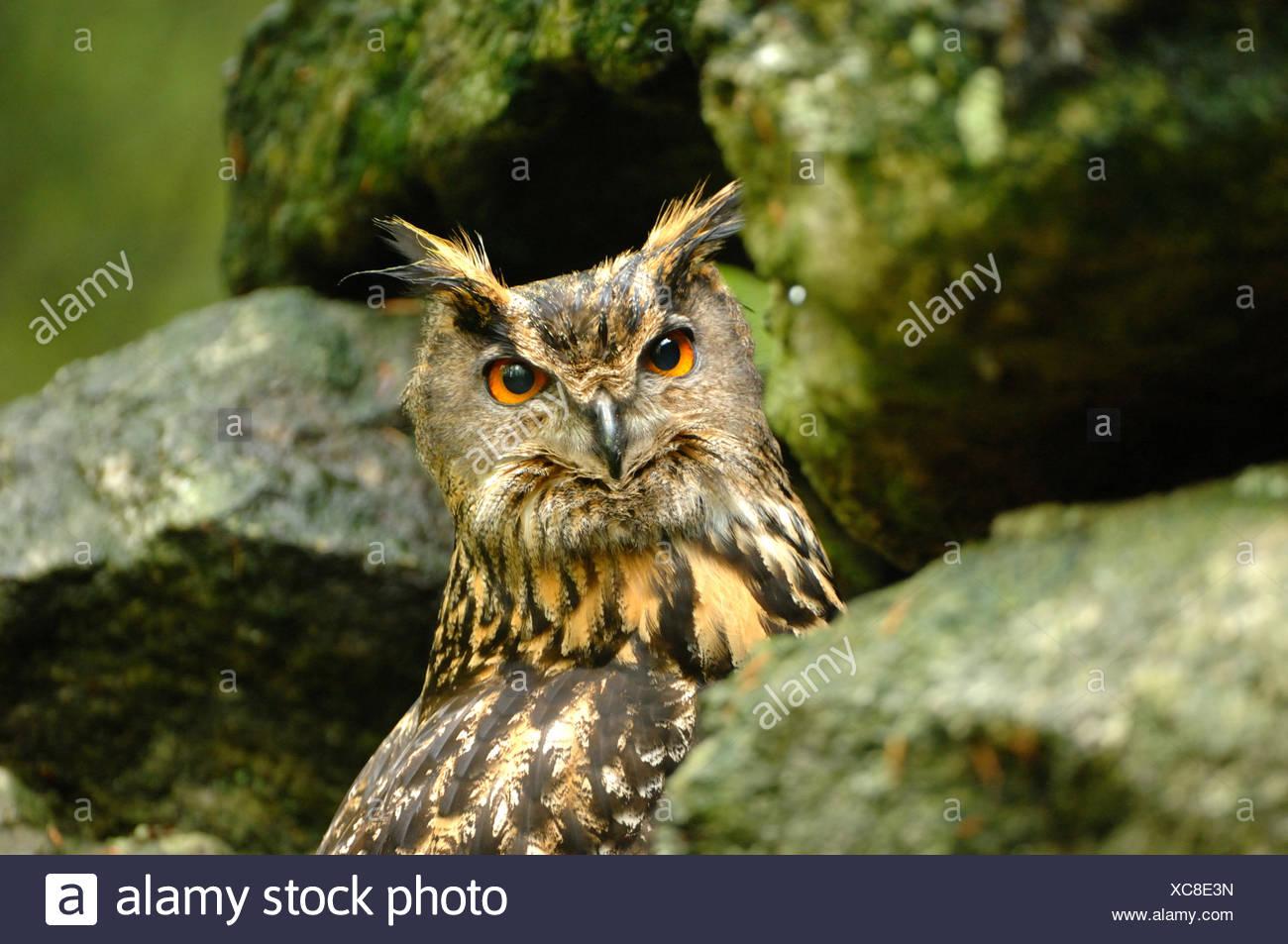 Eagle owl, Bubo bubo, owl, owls, night, bird of prey, birds of prey, bird, birds, peering, animal, animals, Germany, Europe, - Stock Image