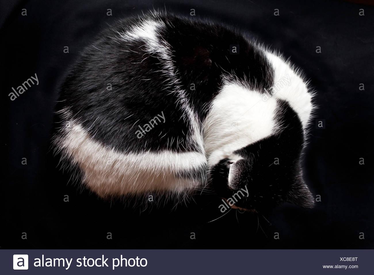 Hauskatze, Haus-Katze (Felis silvestris f. catus), zusammengerollte schwarzweisse Hauskatze | domestic cat, house cat (Felis sil - Stock Image