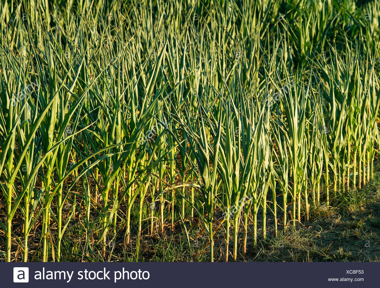 Young corn crop. - Stock Image