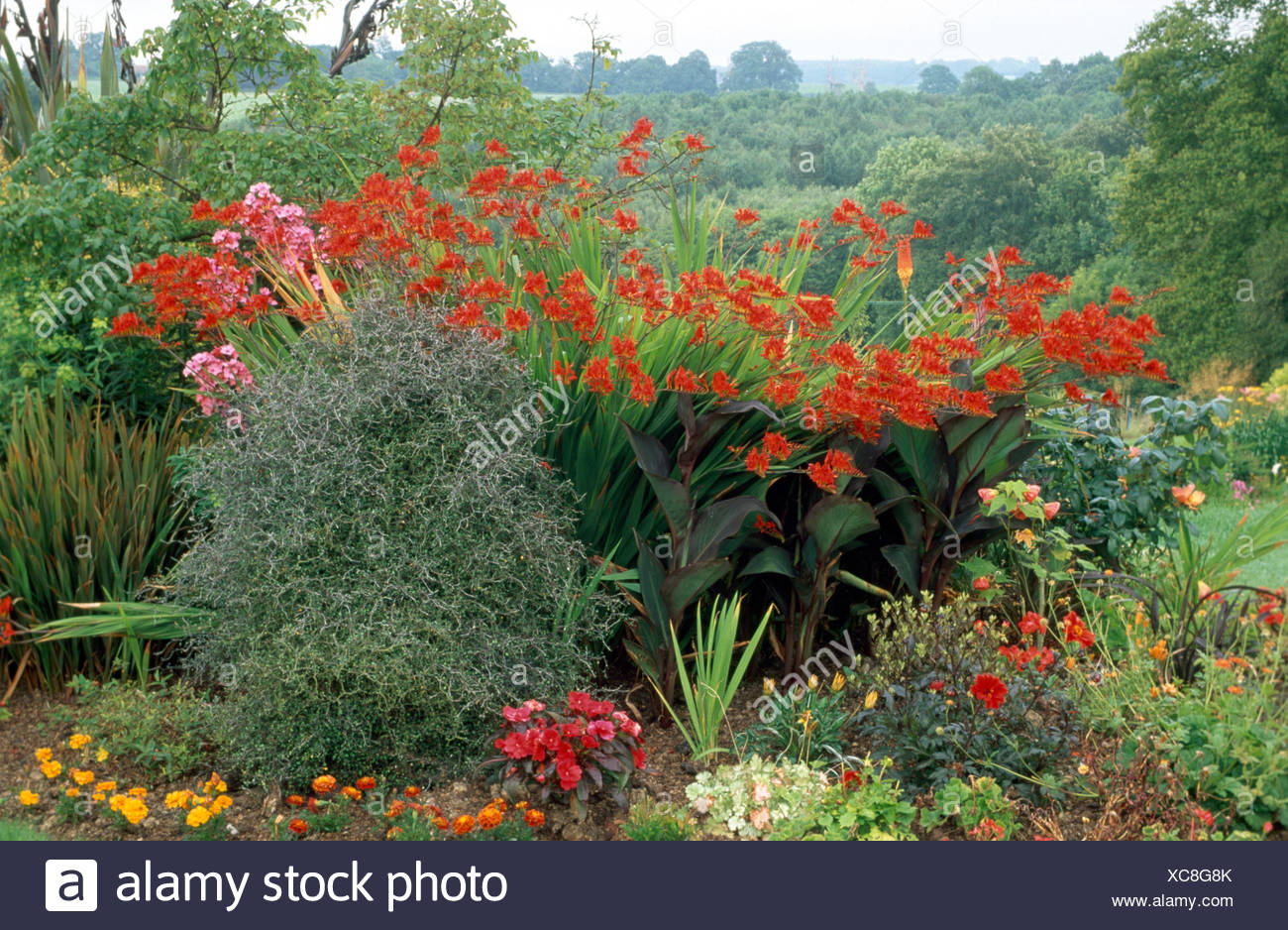 Tall red Crocosmia Lucifer in summer border in large country garden Stock Photo