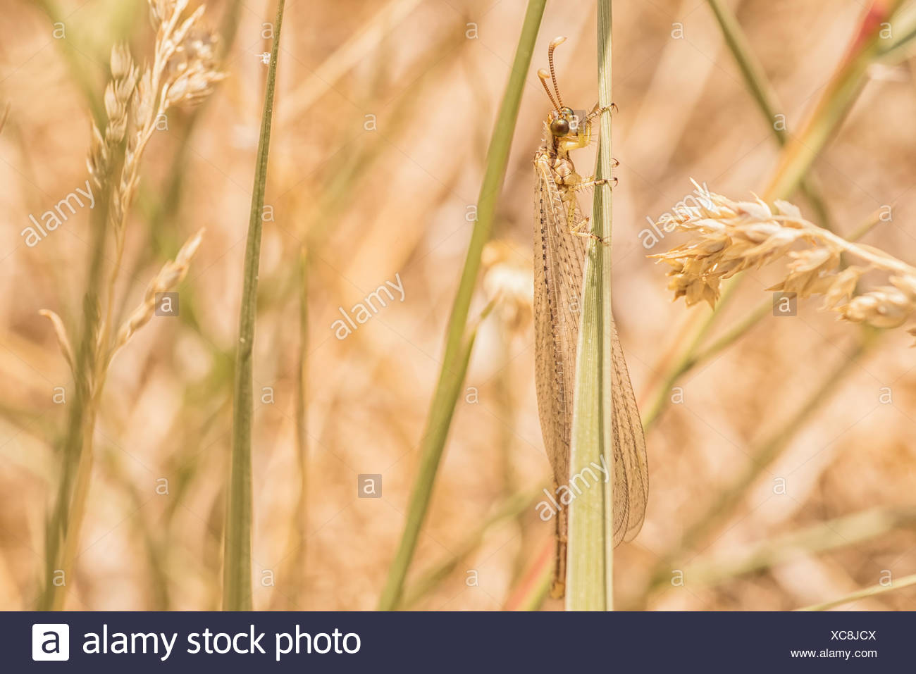 Net Winged Insect - Stock Image