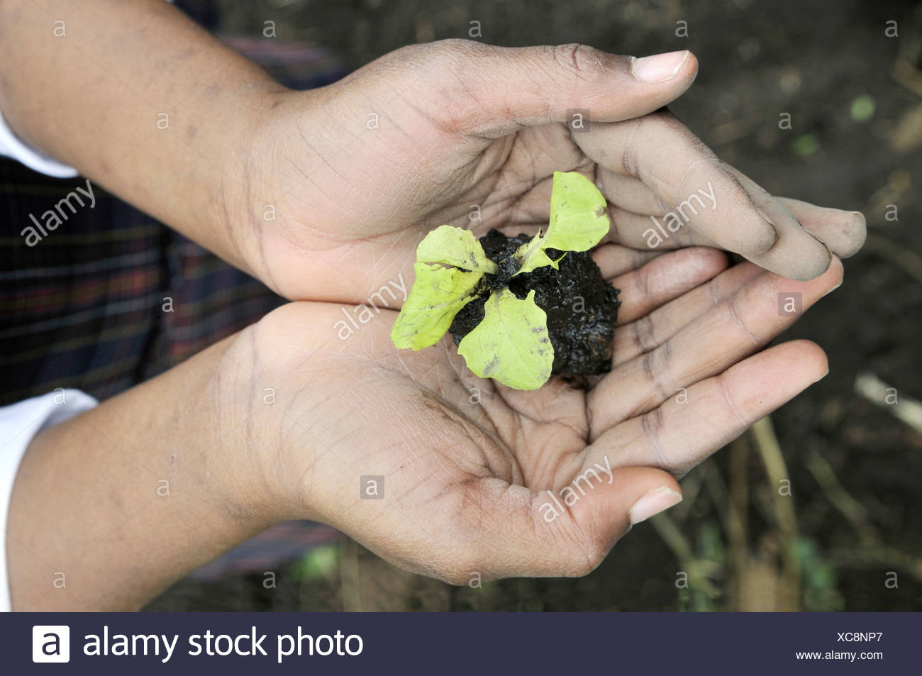 Small lettuce plant, seedling, in the hands of a girl, who is being trained in horticulture as part of an urban agricultural pr - Stock Image
