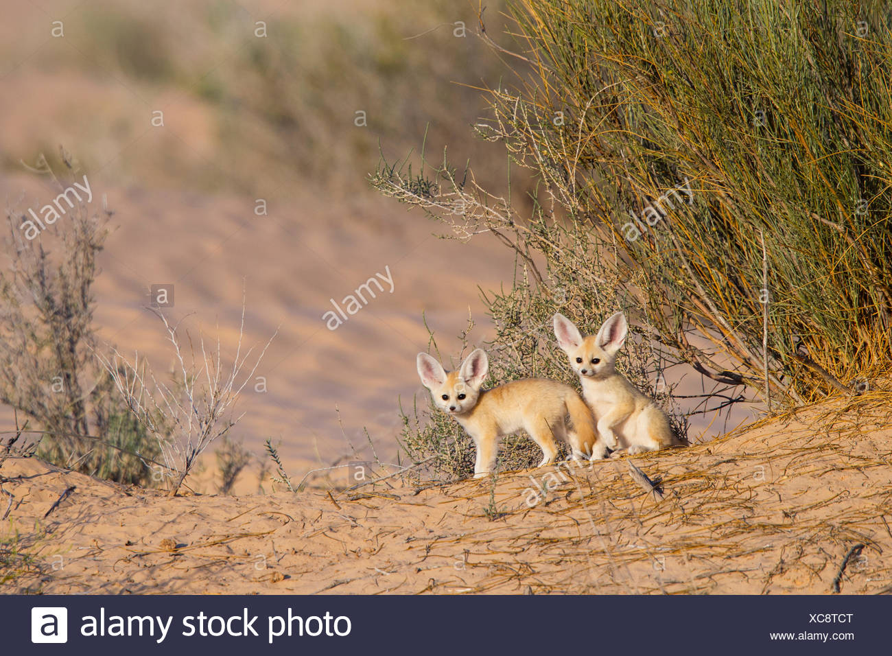 Fennec fox (Vulpes zerda) pups playing outside of den, Grand Erg Oriental, Kebili Governorate. Tunisia. - Stock Image