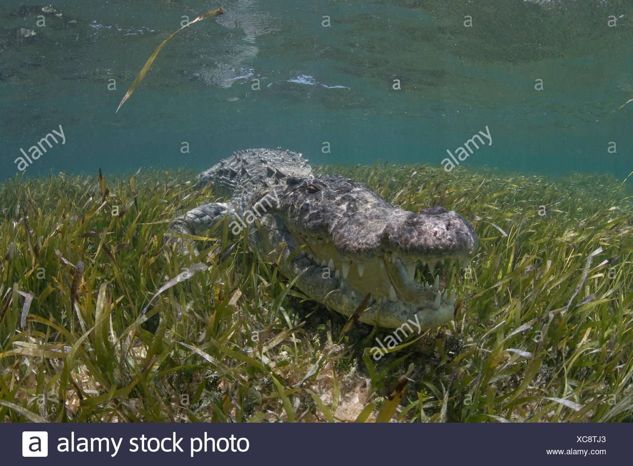 Underwater view of American crocodile in shallow waters of Chinchorro Atoll Biosphere Reserve, Quintana Roo, Mexico - Stock Image