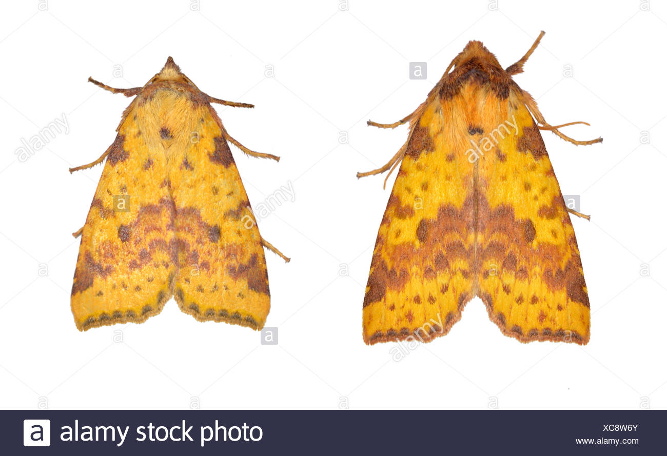 73.181 (2273) Pink-barred Sallow - Xanthia togata - Stock Image