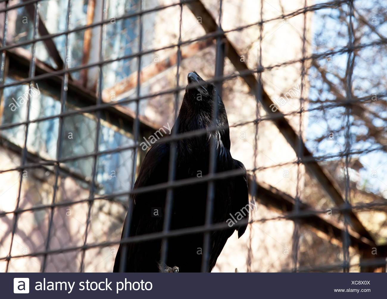 Black raven - Stock Image