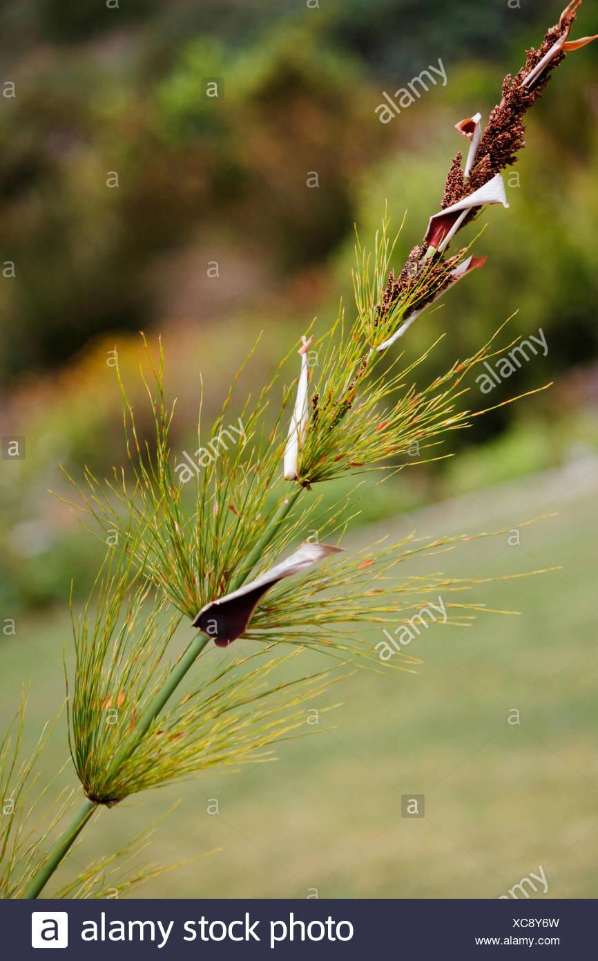 Horsetail restio (Elegia capensis ), single blade fruiting, South Africa - Stock Image