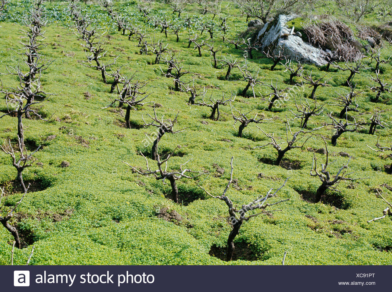 Trees grow in rows of designated plots. - Stock Image