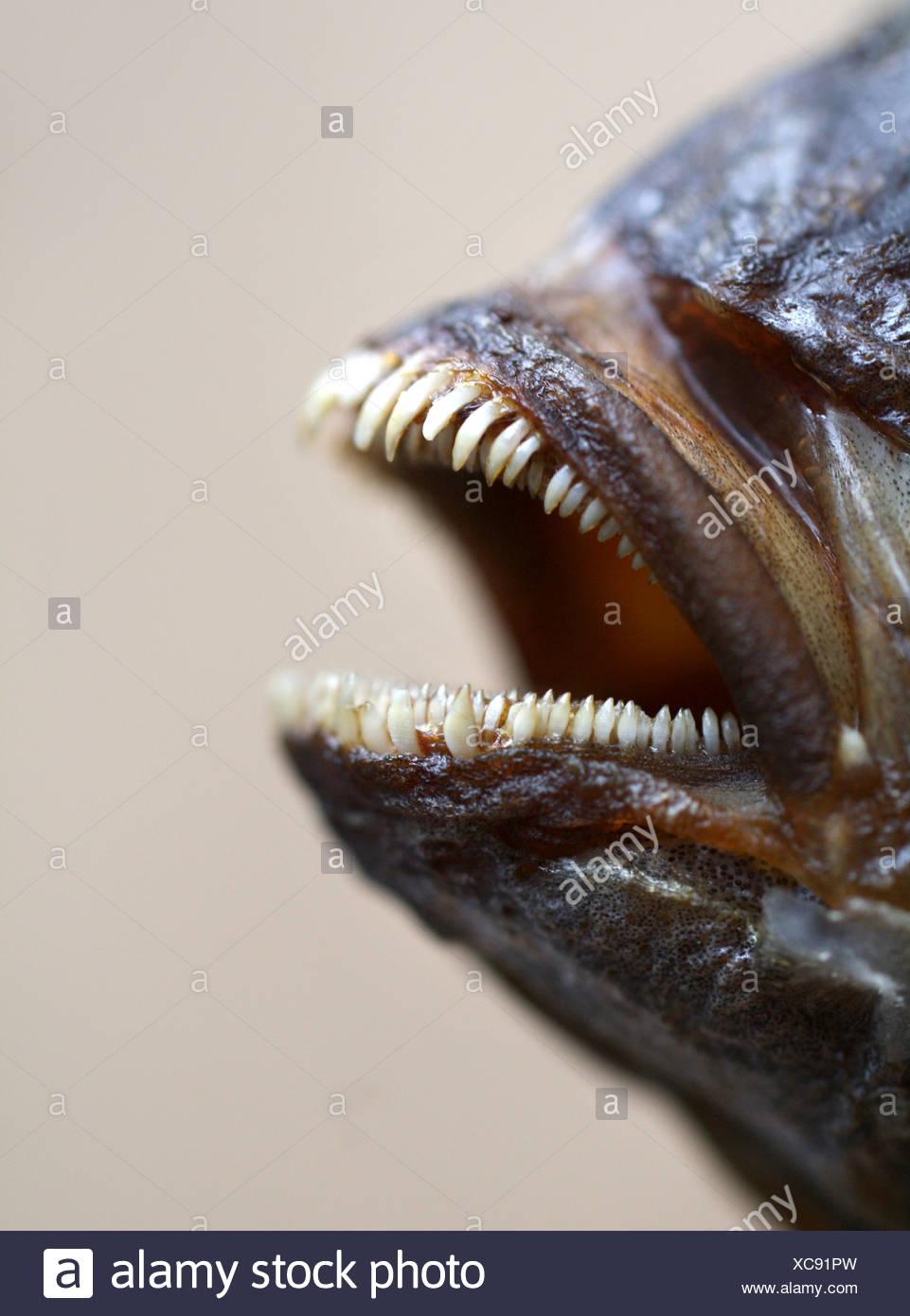 dead animal,teeth - Stock Image