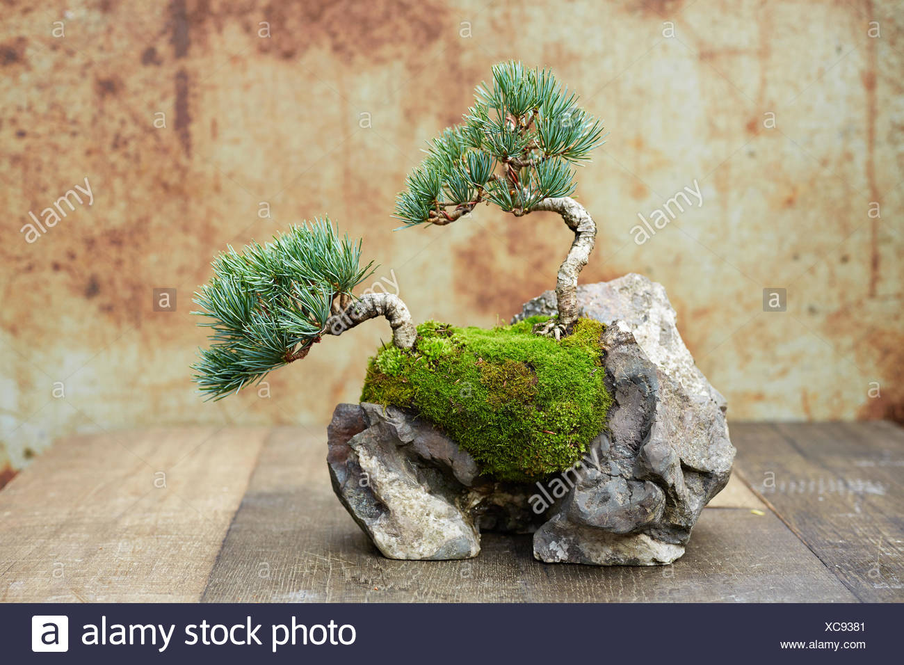 Bonsai rock planting, Five-needle Pine - Stock Image