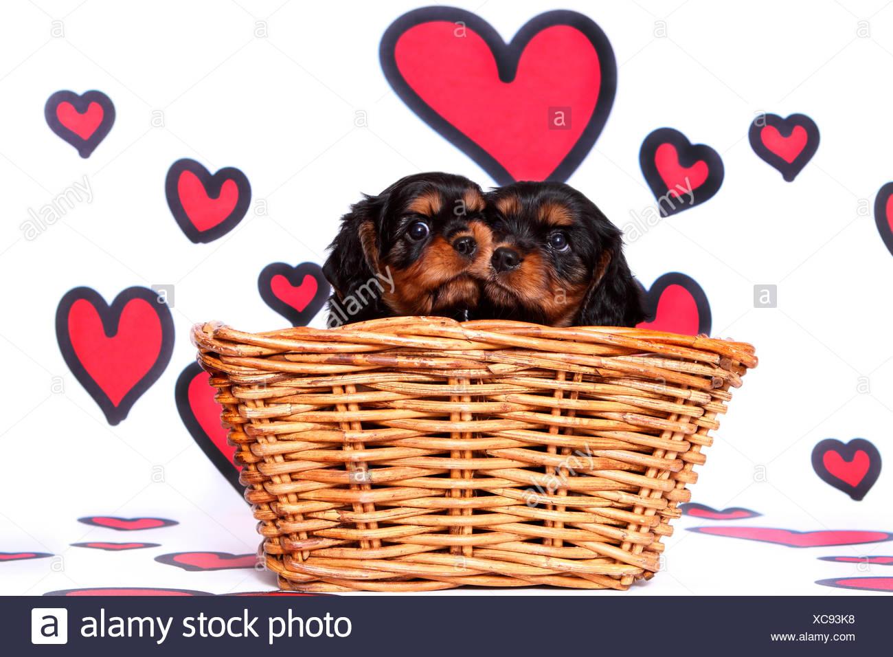 Cavalier King Charles Spaniel  Pair of puppies (6 weeks old