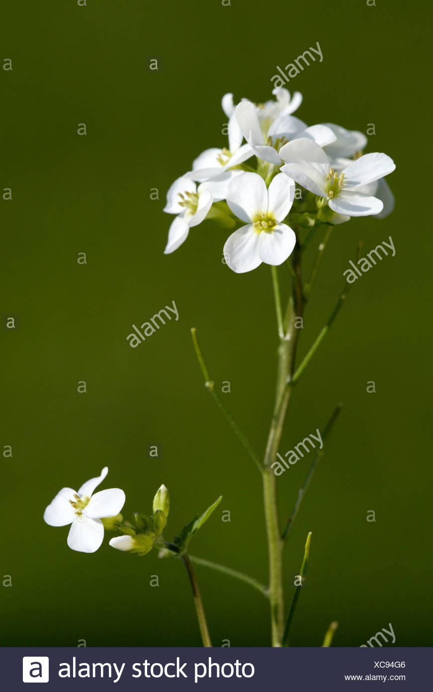 Snowdrop or Wall Rock Cress or White Rockcress (Arabis caucasica), flowers - Stock Image