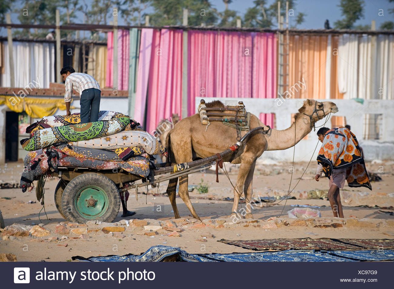 Camel pulling a two wheeled cart in front of dyed fabric, Sanganer dyeing centre near Jaipur, Rajasthan, India, Asia - Stock Image