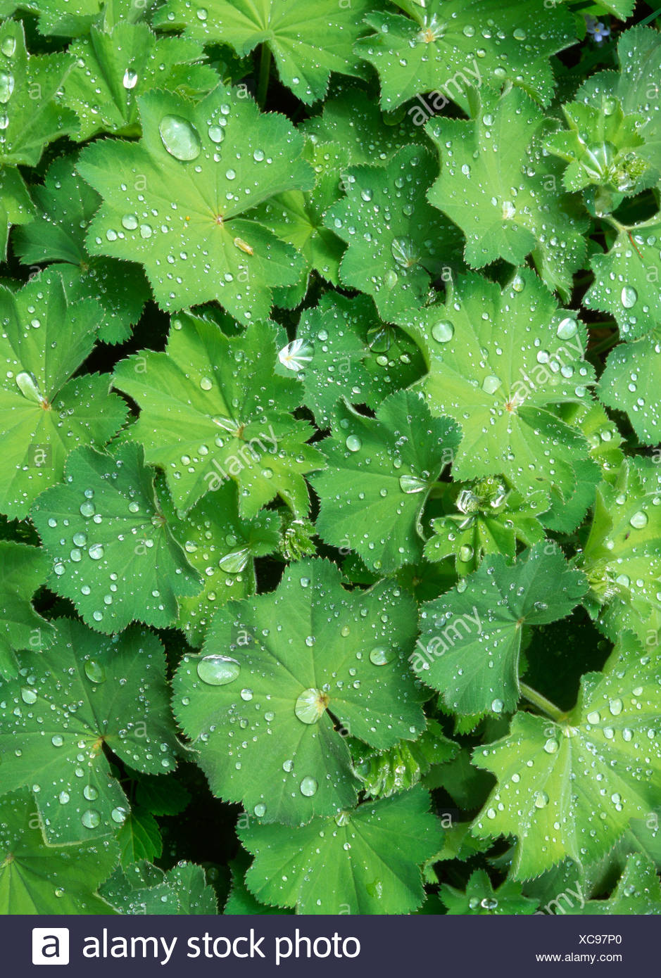 Dewdrops, water drops covered a leafy green garden plant, Schwaz, Tyrol, Austria, Europe - Stock Image