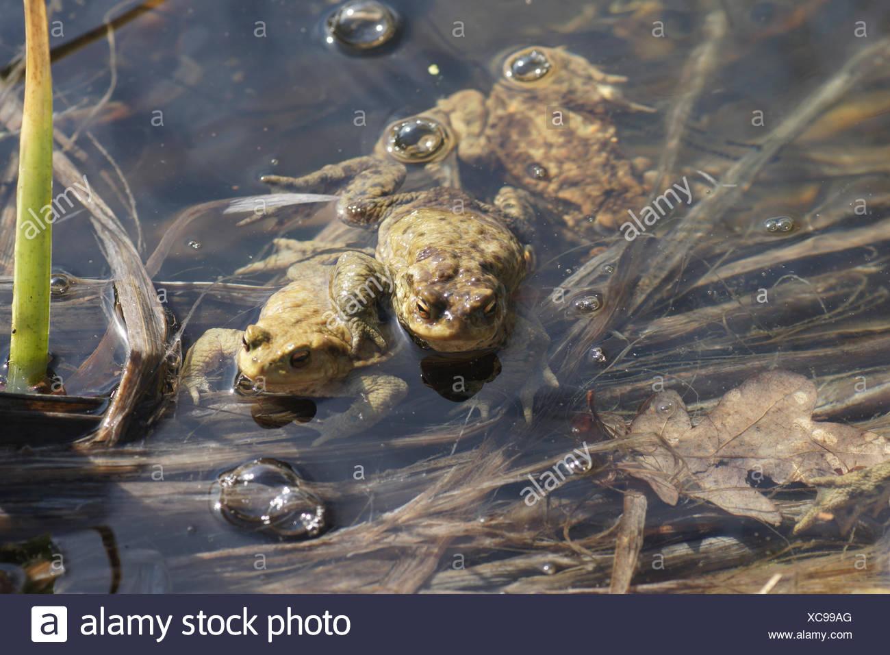 Bufo bufo, Toad, mating - Stock Image