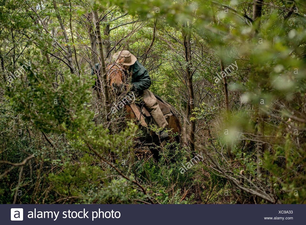 A bagualero, a cowboy who captures feral livestock, hacks a trail through the forest on horseback. - Stock Image