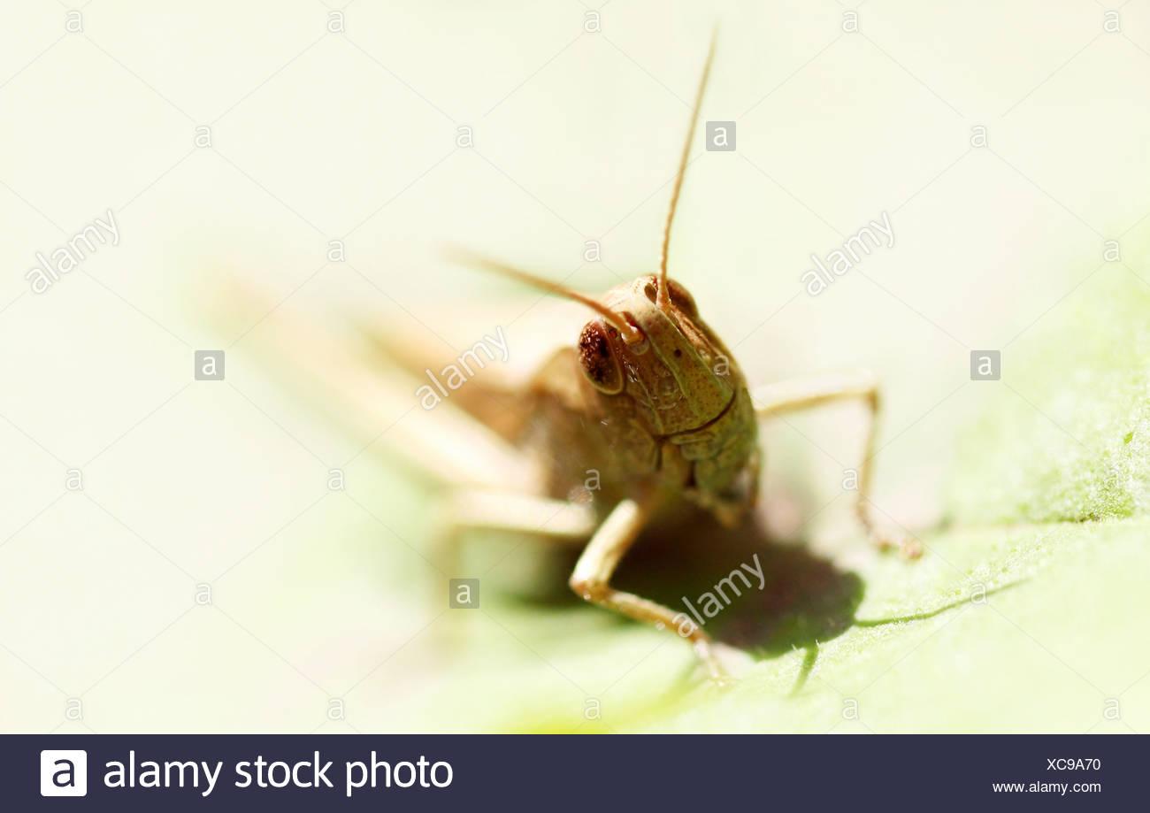 Grashüpfer sitzt auf einem Blatt | - Stock Image