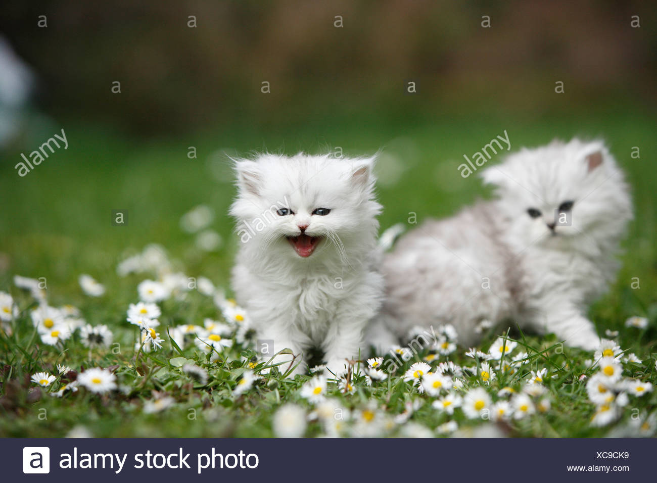 two kittens sitting in a daisied meadow - Stock Image