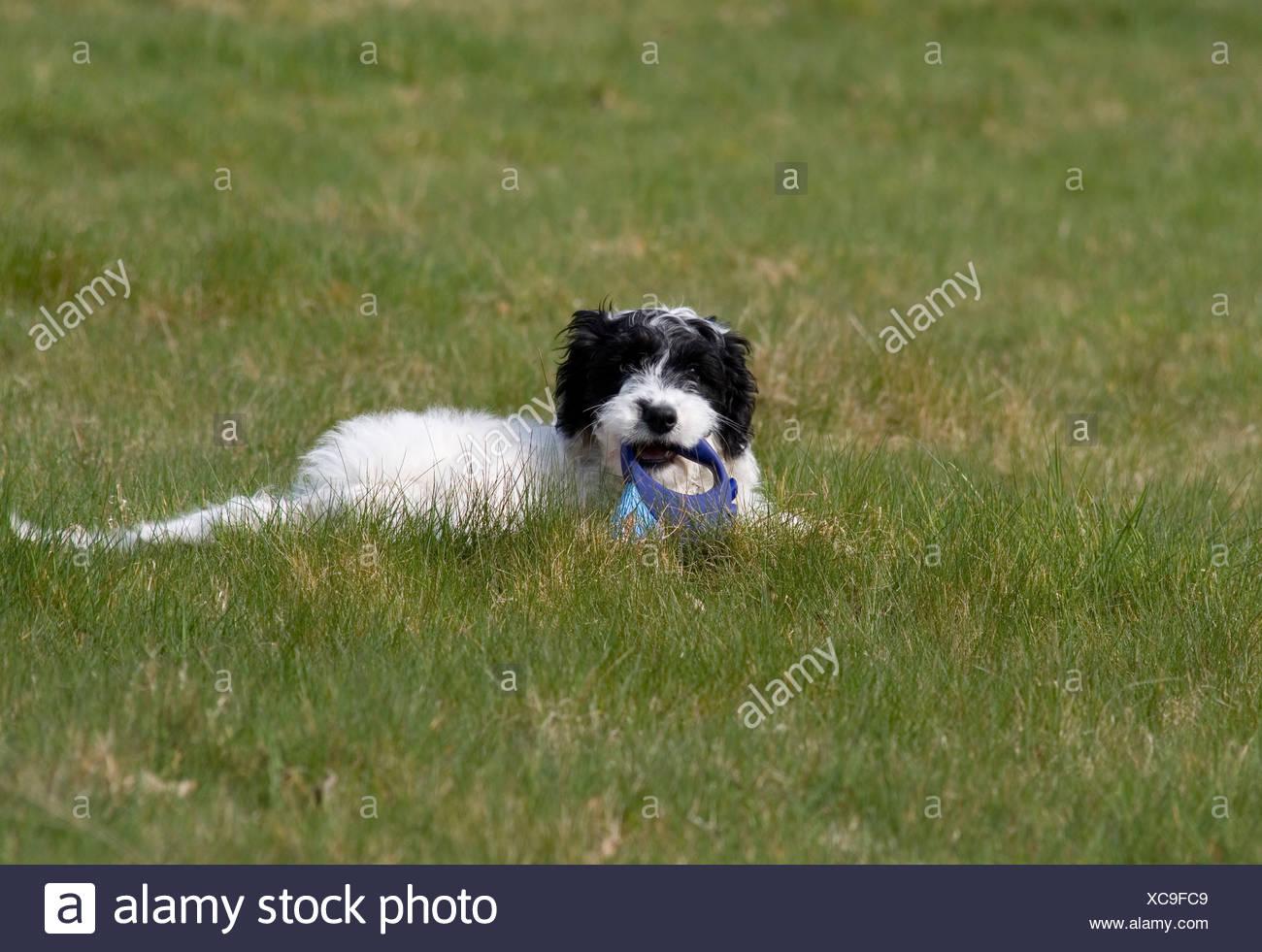 portrait cockerpoo puppy sitting in field - Stock Image