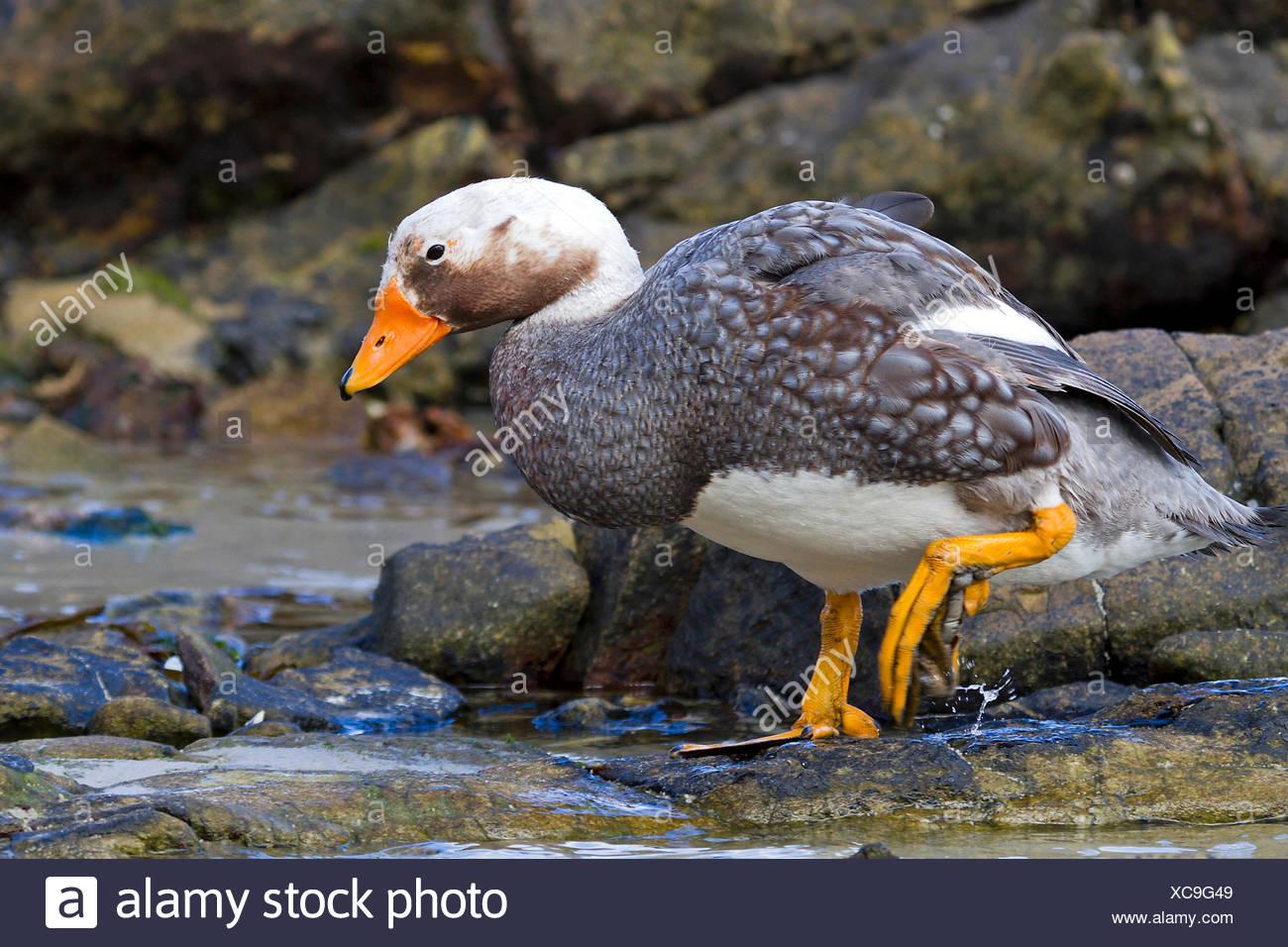 Flightless steamer duck (Tachyeres brachypterus), male at the coast, Antarctica, Falkland Islands, Carcass Island, Falkland Inseln - Stock Image