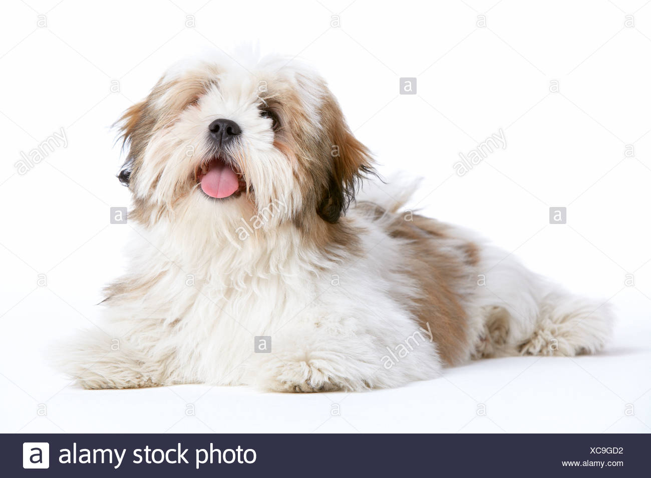 Lhasa Apso Dog Lying Down - Stock Image