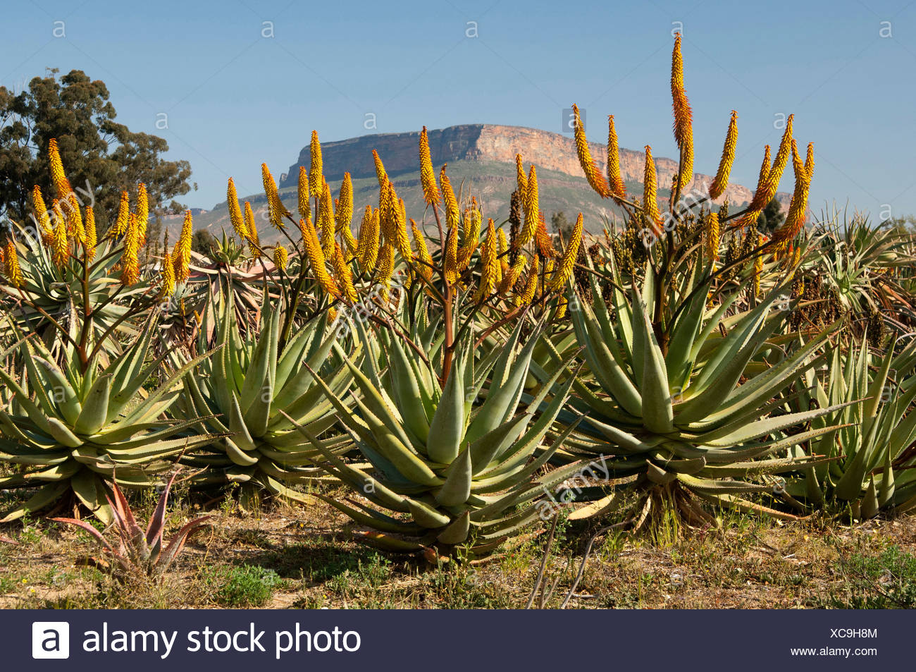 Cape Aloe (Aloe ferox) in front of Gifberg or Poison Mountain, Vanrhynsdorp, Western Cape Province, South Africa, Africa - Stock Image