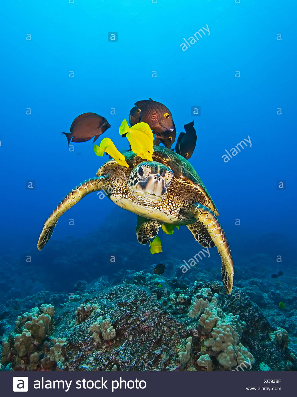 Green Sea Turtle cleaned by Fishes, Chelonia mydas, Big Island, Hawaii, USA - Stock Image