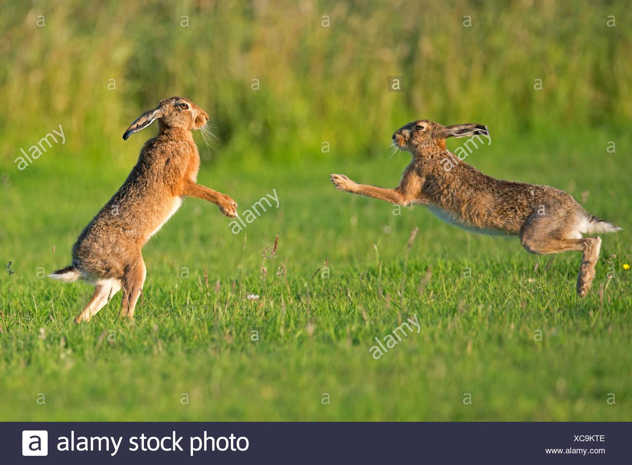 European hares (Lepus europaeus) boxing, UK - Stock Image