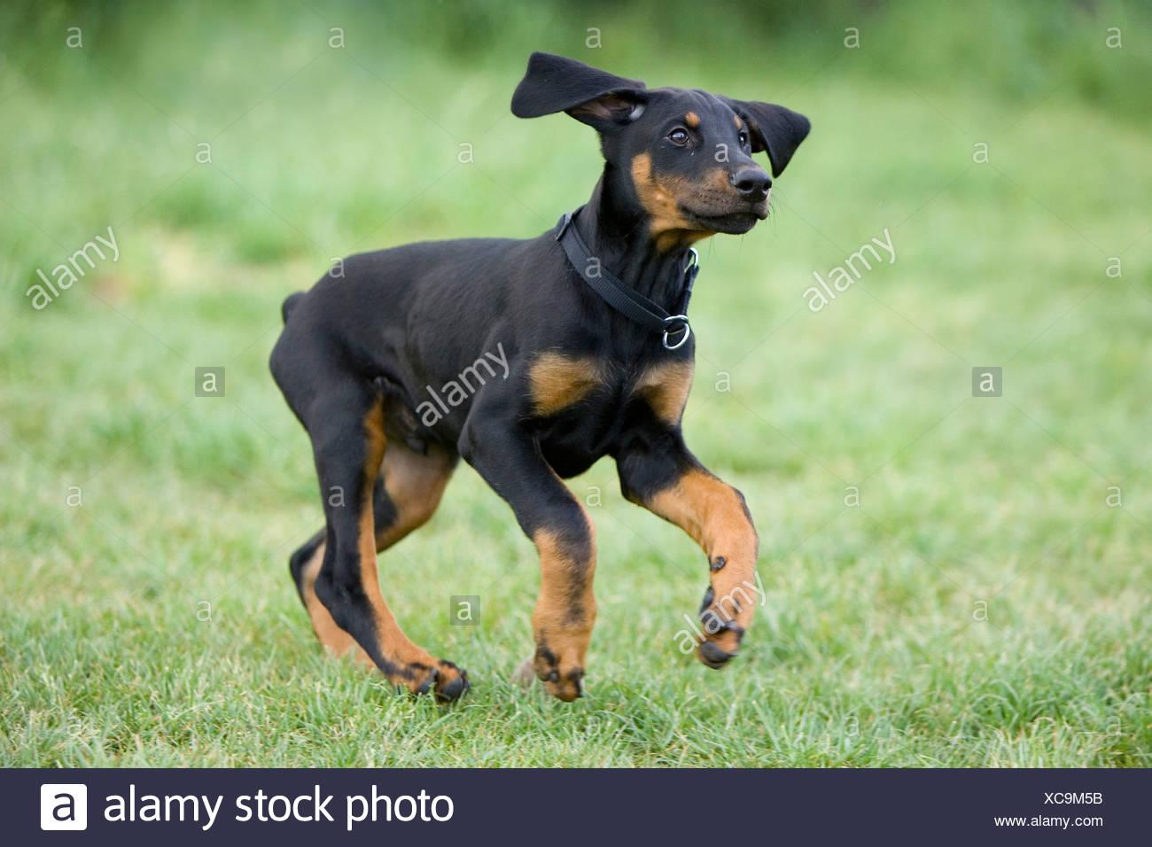 Young Doberman pinscher dog - Stock Image