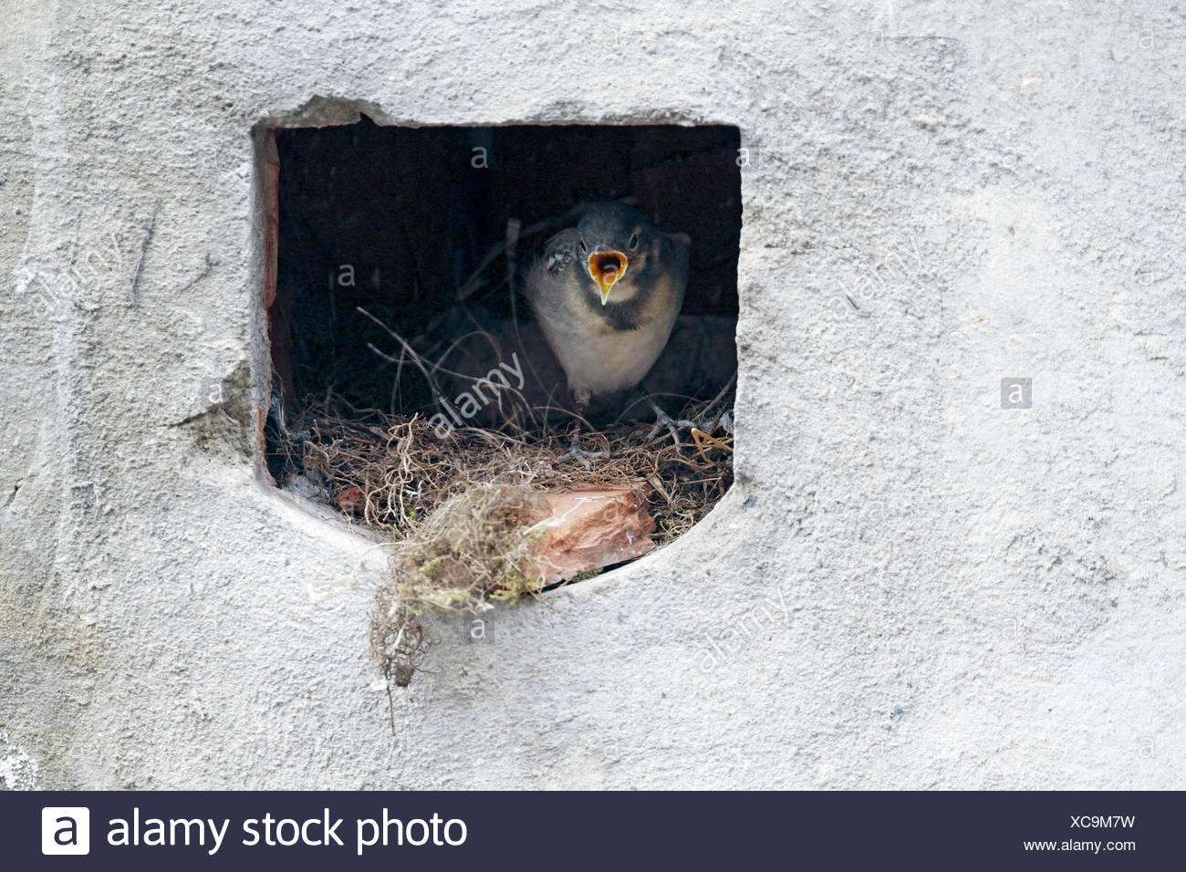 pied wagtail (Motacilla alba), young squeaker in the nest calling, Germany - Stock Image