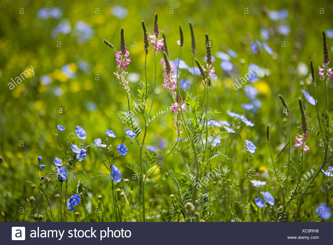 Flower meadow, - Stock Image