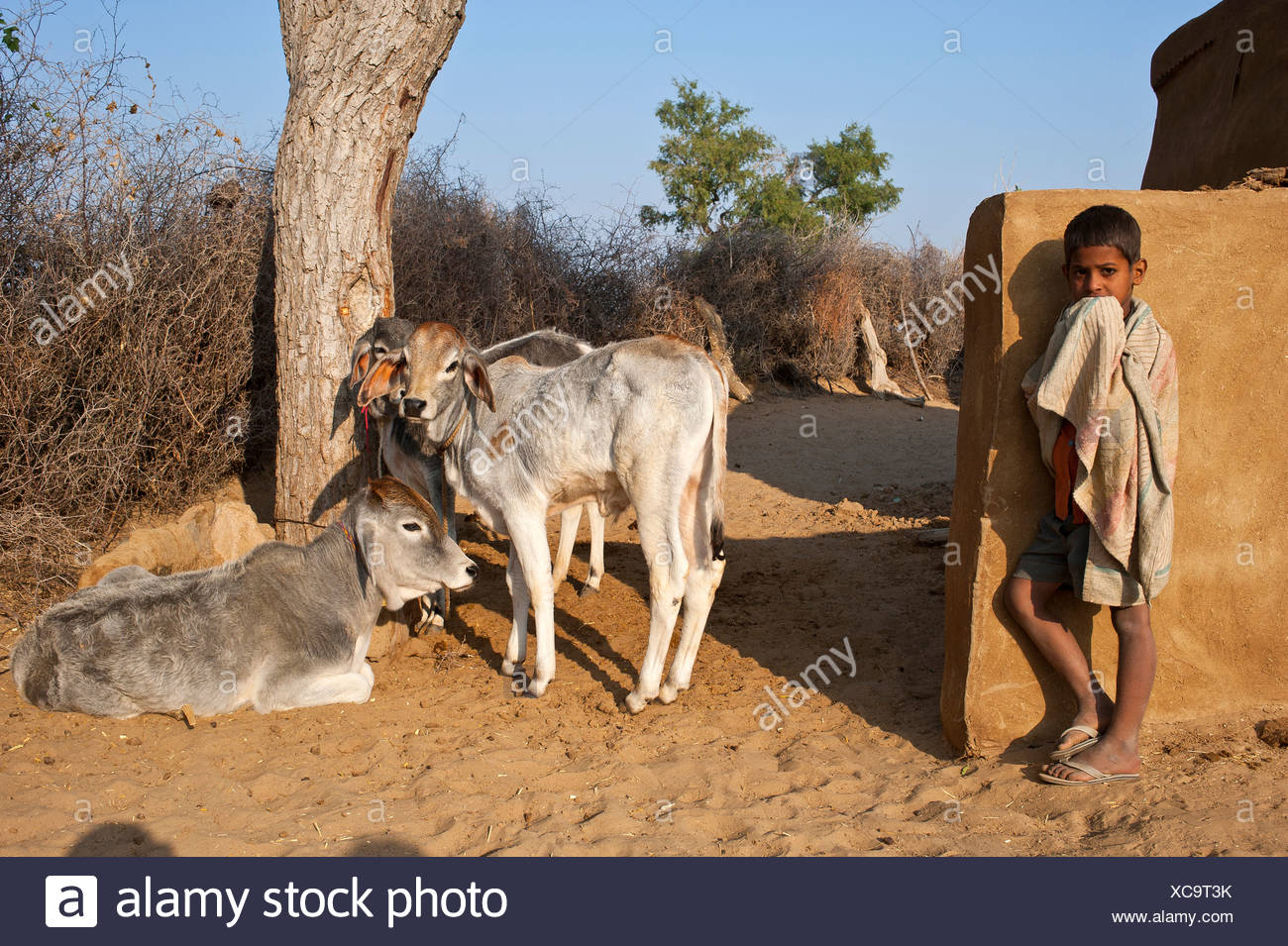 Curious little boy standing in front of a wall, the family's cows are sitting under a tree, Thar Desert, Rajasthan, India, Asia - Stock Image
