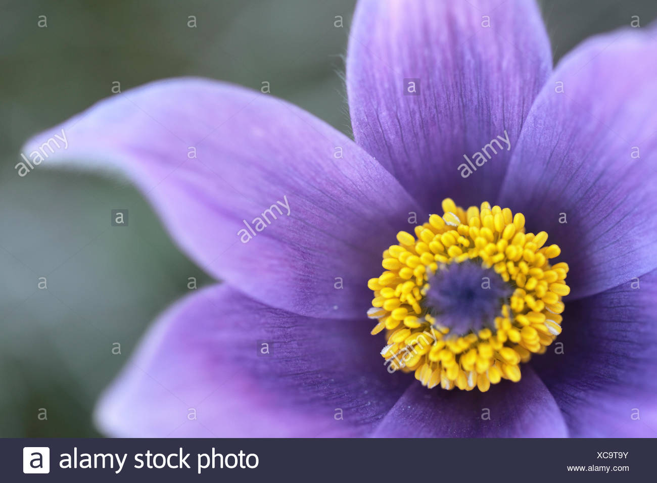 Close up of Great pasqueflower, Pulsatilla grandis. - Stock Image